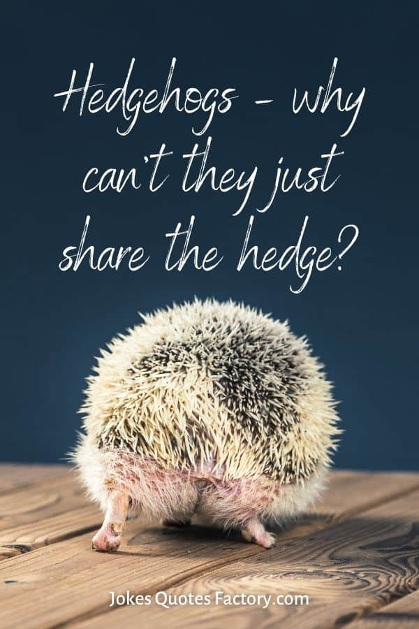 Hedgehogs – why can't they just share the hedge