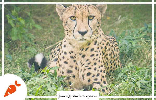 Why don't they play poker in the zoo?  Too many cheetahs.