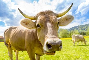 Funny Cow Jokes and Puns for Kids (with Dad Jokes)