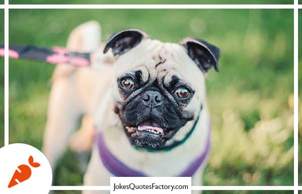 """Every pug tells you: """"I do not have Wrinkles...they are my smile lines!"""""""